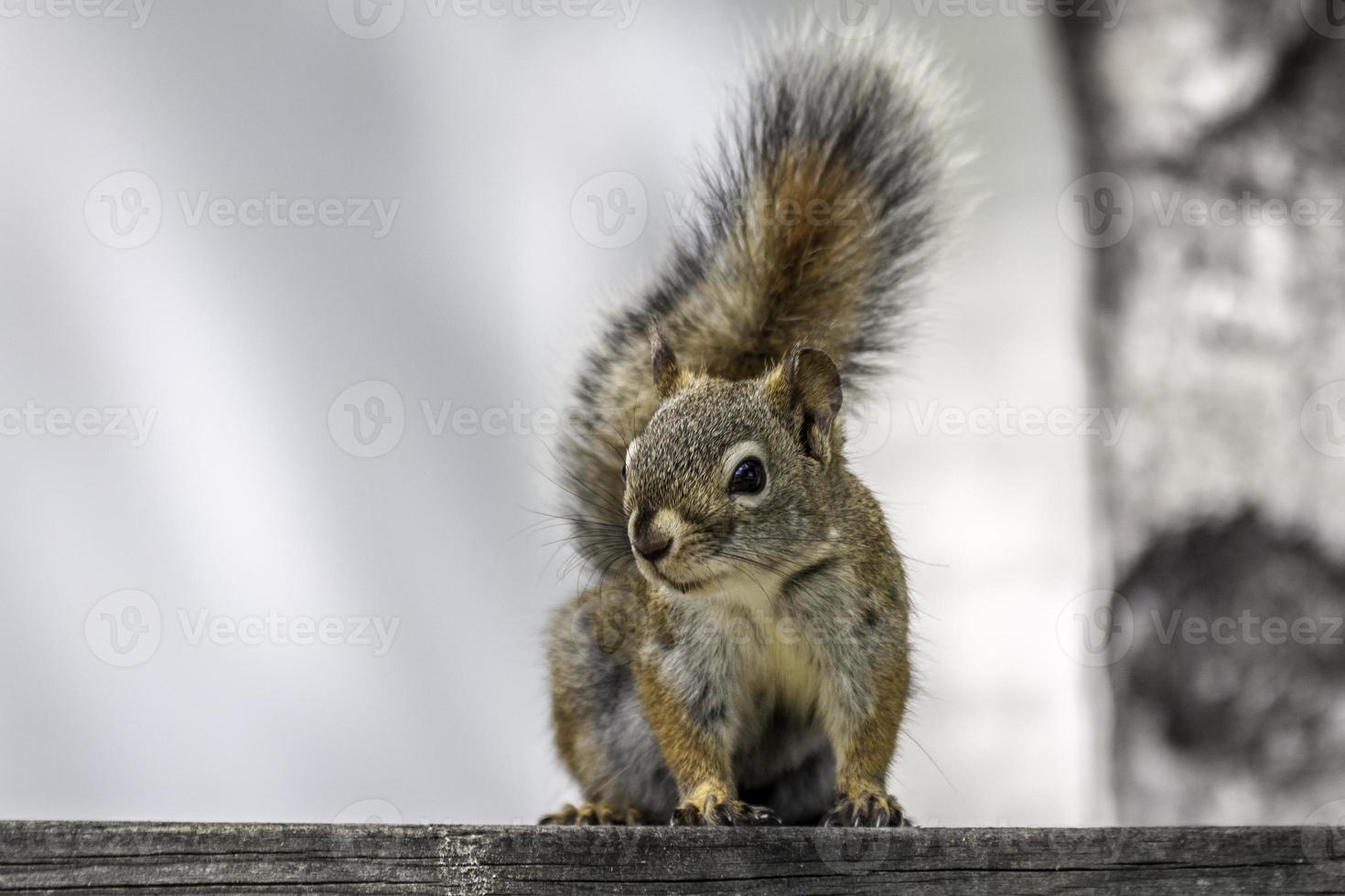 scoiattolo in posa per la foto