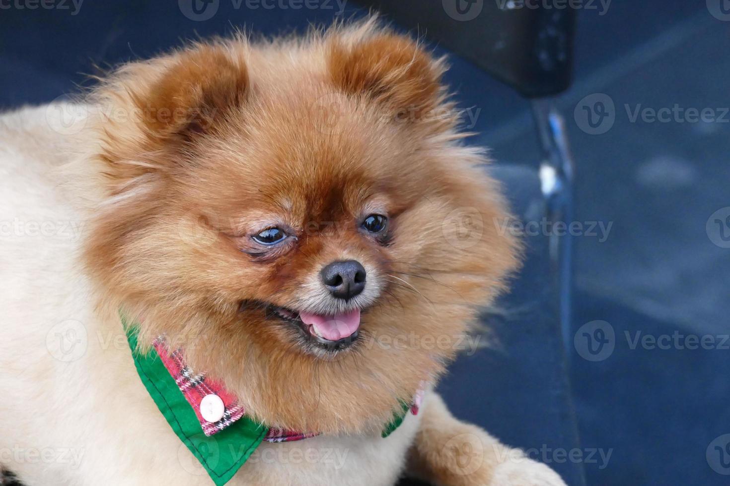 Pomeranian cane marrone seduto sulla sedia foto
