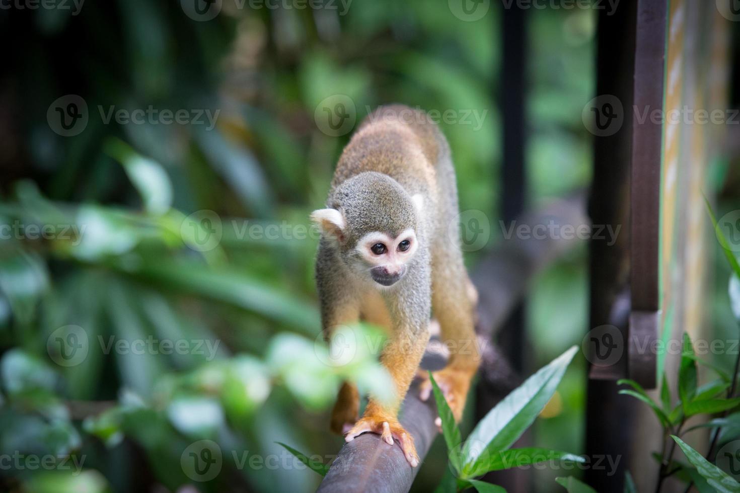 scimmie scoiattolo foto
