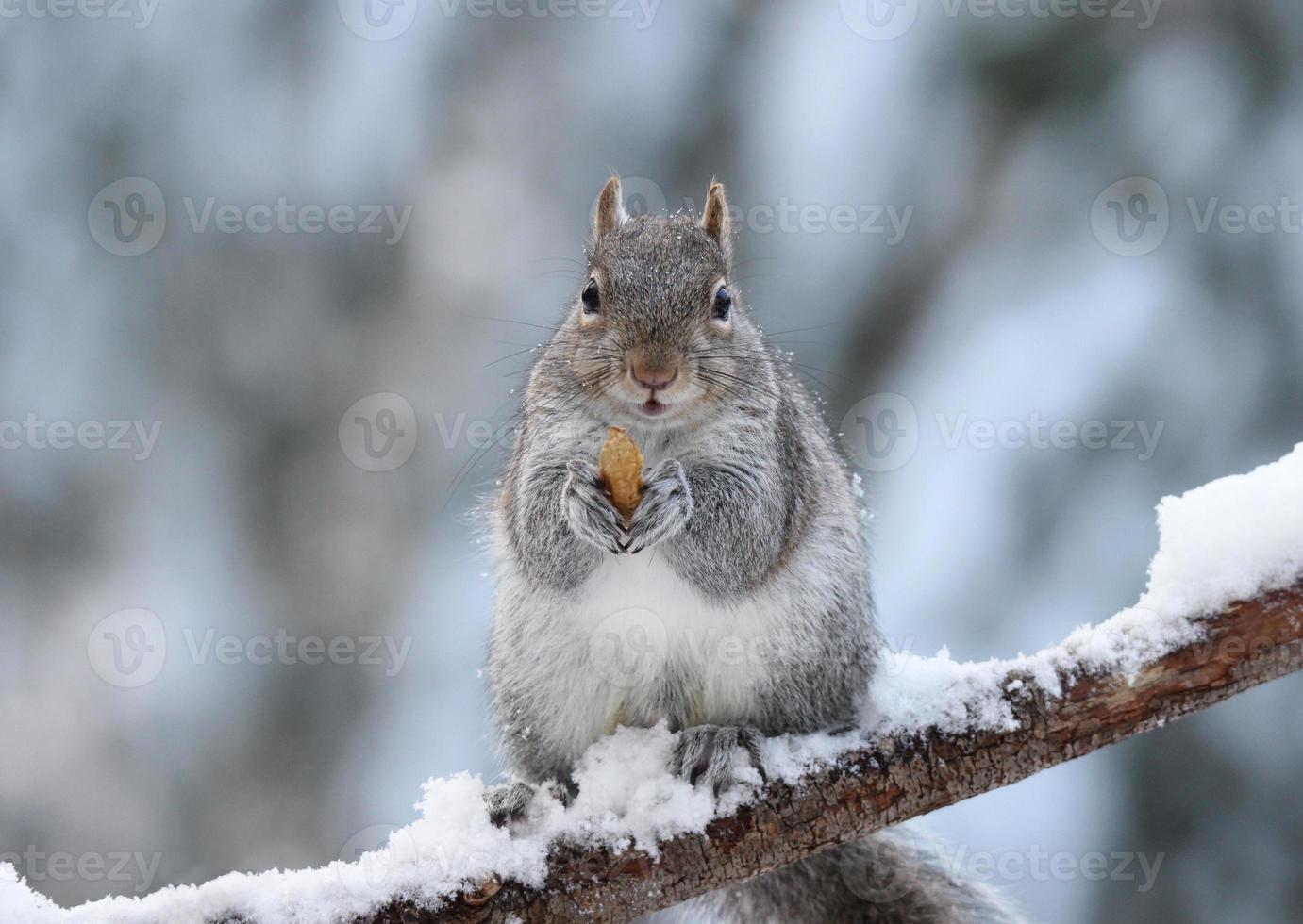 scoiattolo invernale con una noce foto