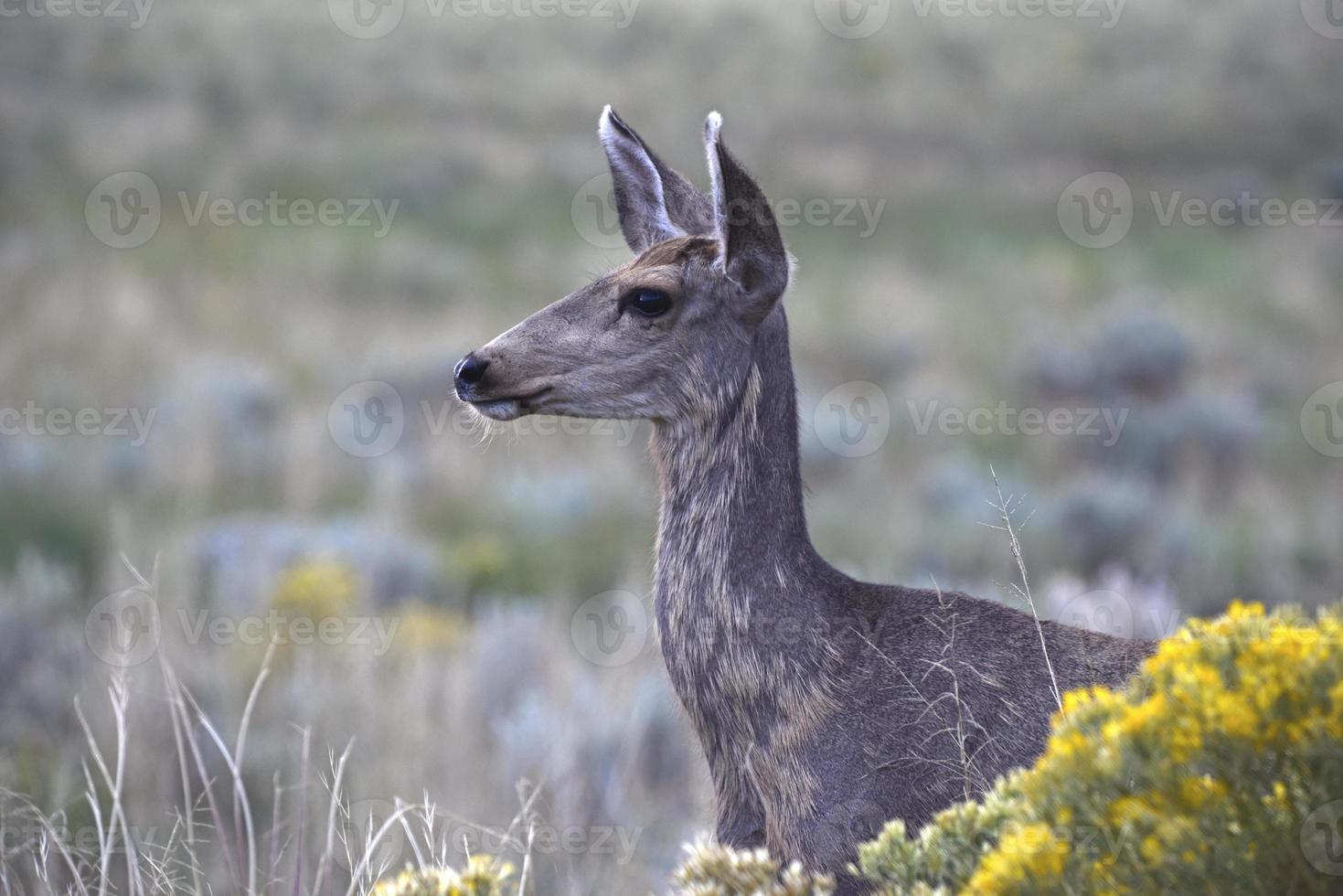 cervo mulo nelle montagne rocciose foto