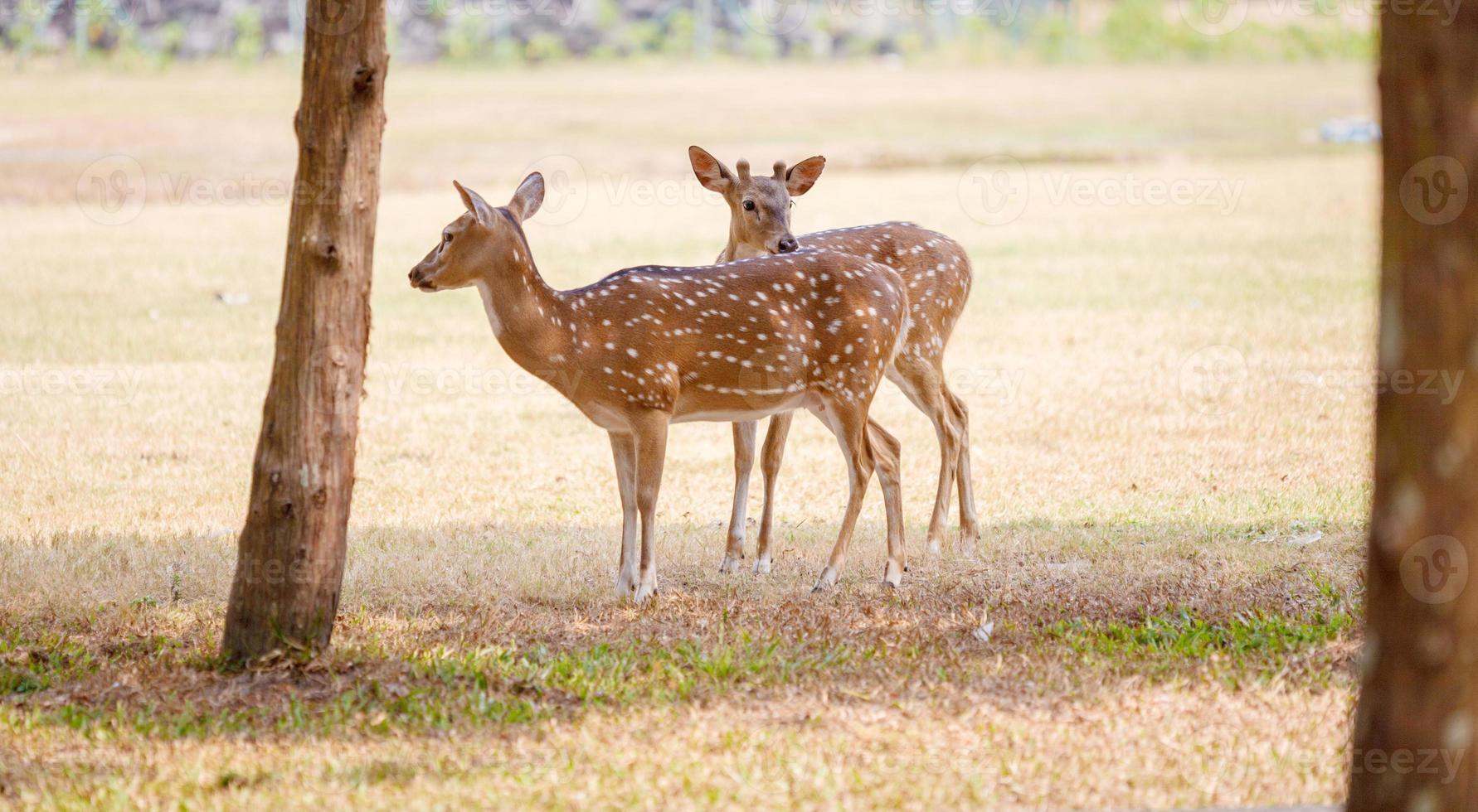 simpatica coppia di cervi nel parco foto