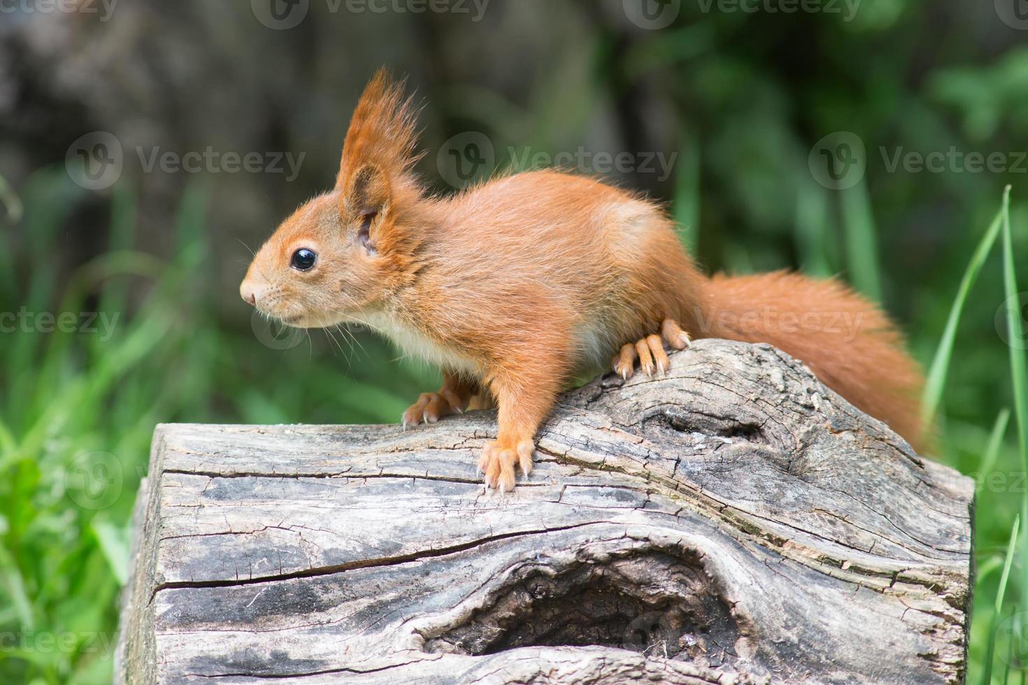 giovane scoiattolo rosso foto