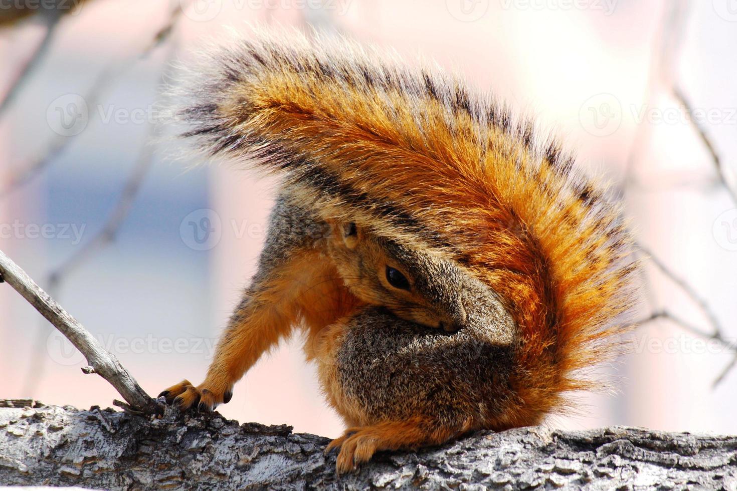 lo scoiattolo sta finendo i capelli foto