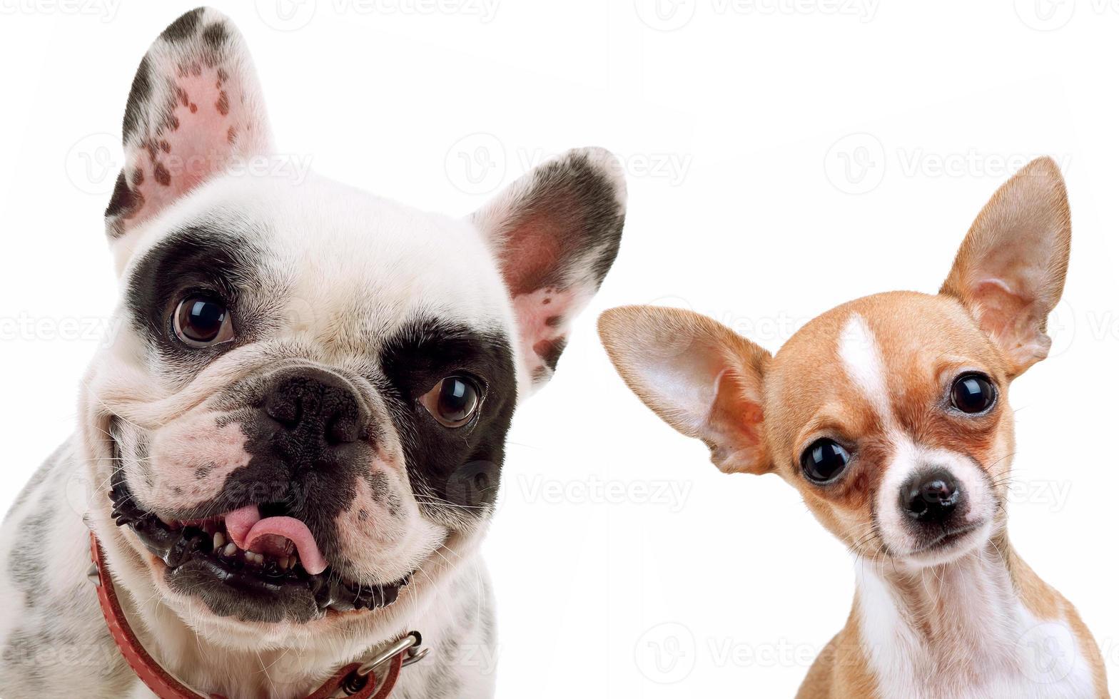 chihuahua e cane toro francese foto