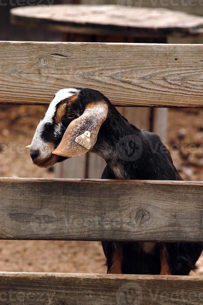 una capra gentile che scruta attraverso una staccionata di legno foto