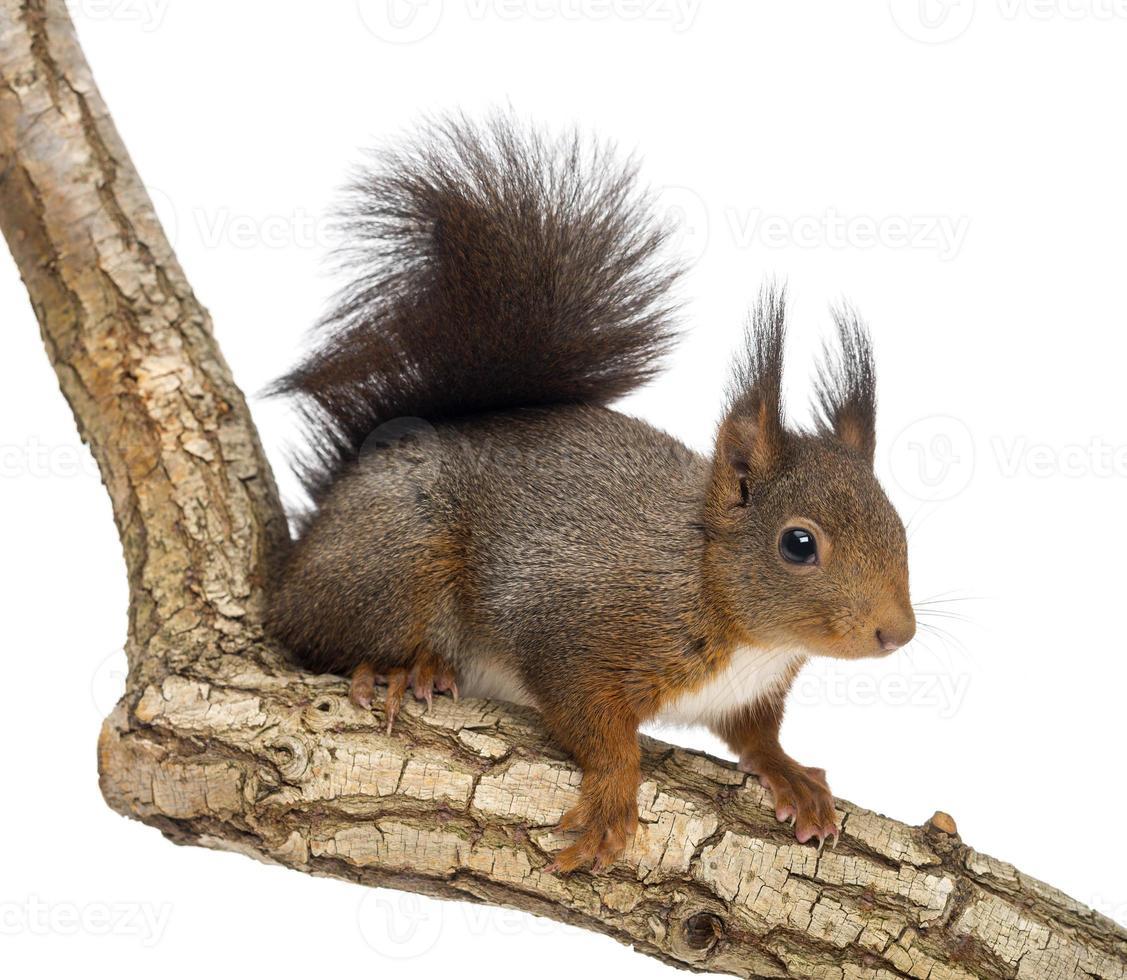scoiattolo rosso, sciurus vulgaris, climbing foto