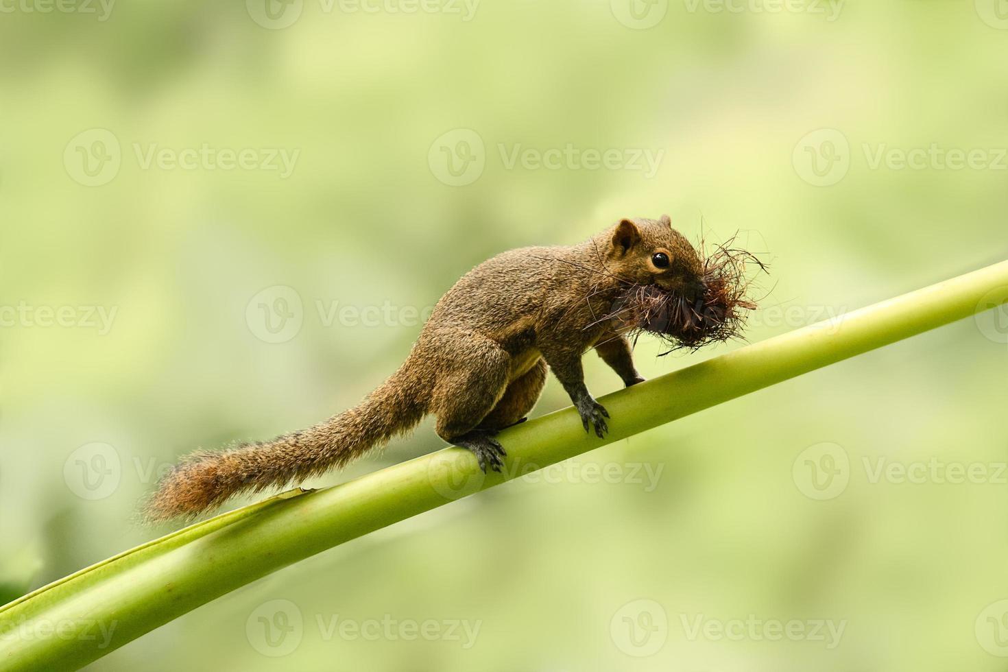 scoiattolo con un boccone foto