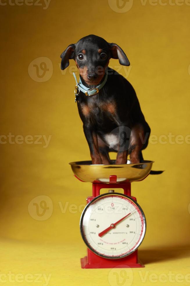 cucciolo di pinscher in miniatura su una scala foto