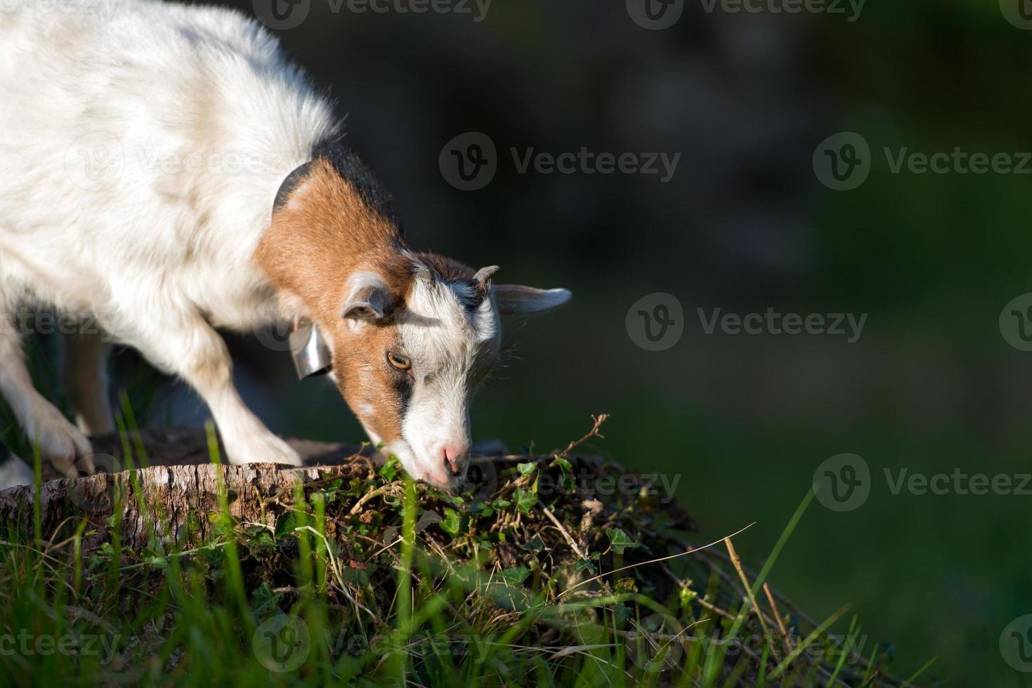 piccola capra al pascolo foto