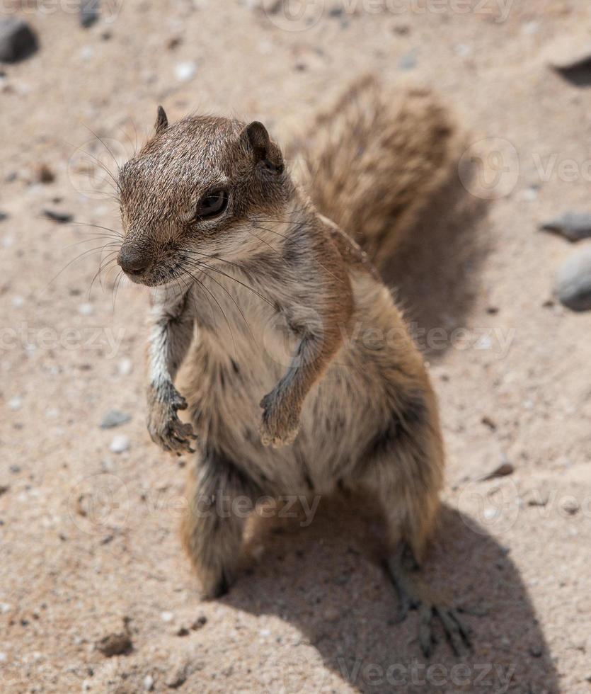 scoiattolo a terra di barbary foto
