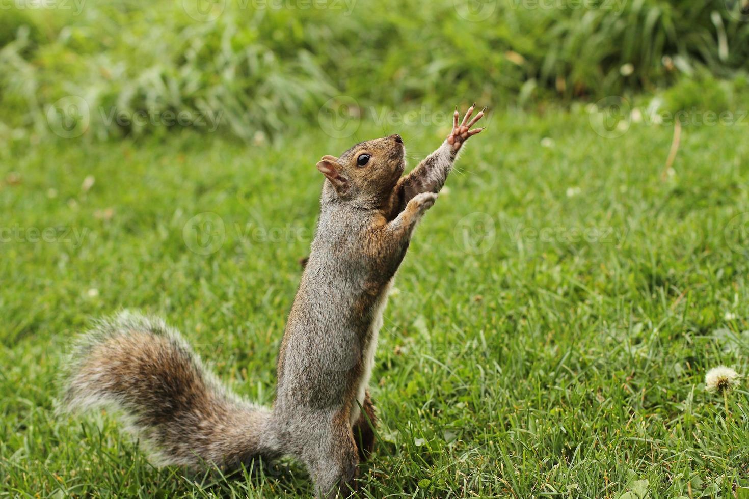 pugile scoiattolo foto