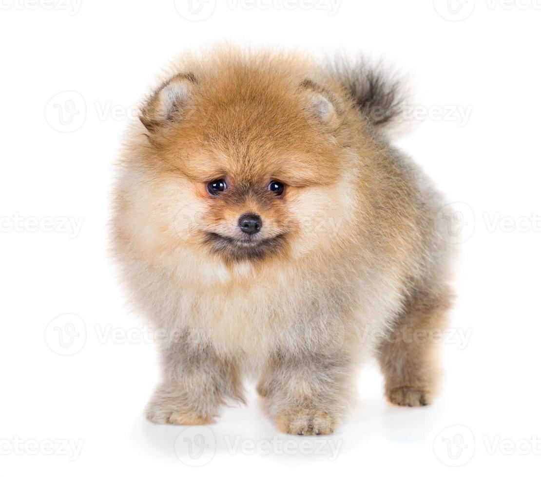 Pomeranian cucciolo isolato su uno sfondo bianco foto