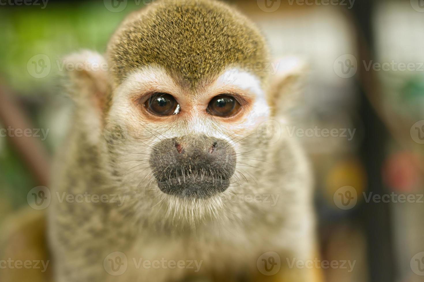 scimmia scoiattolo comune (saimiri sciureus) foto