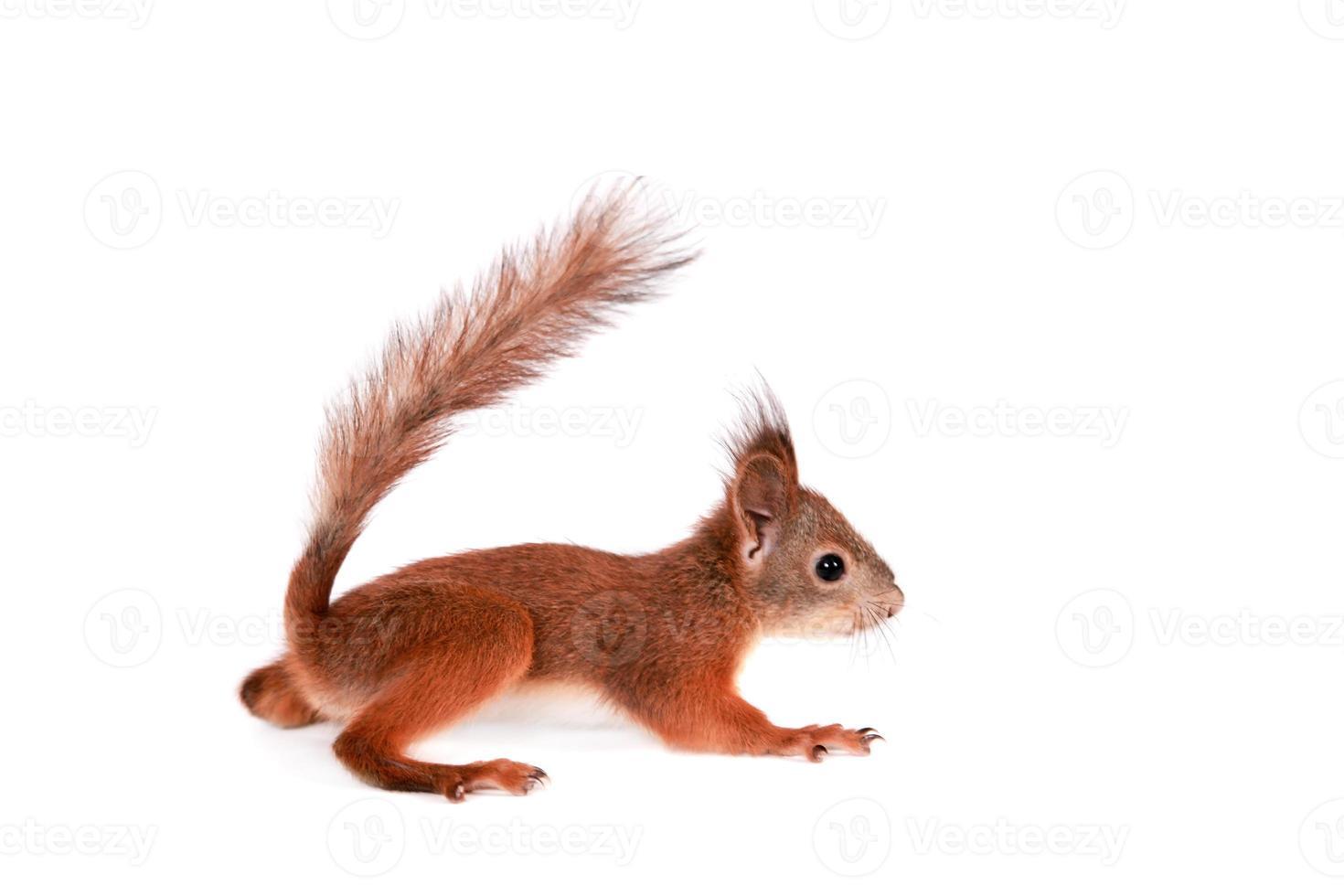 scoiattolo rosso eurasiatico, sciurus vulgaris su bianco foto