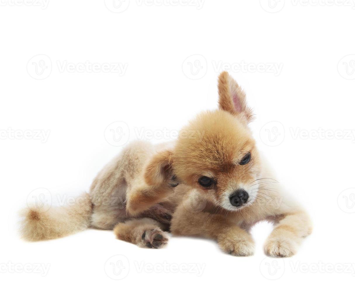 recitazione adorabile del cucciolo di cane pomeranian isolata sul fondo del whtie foto