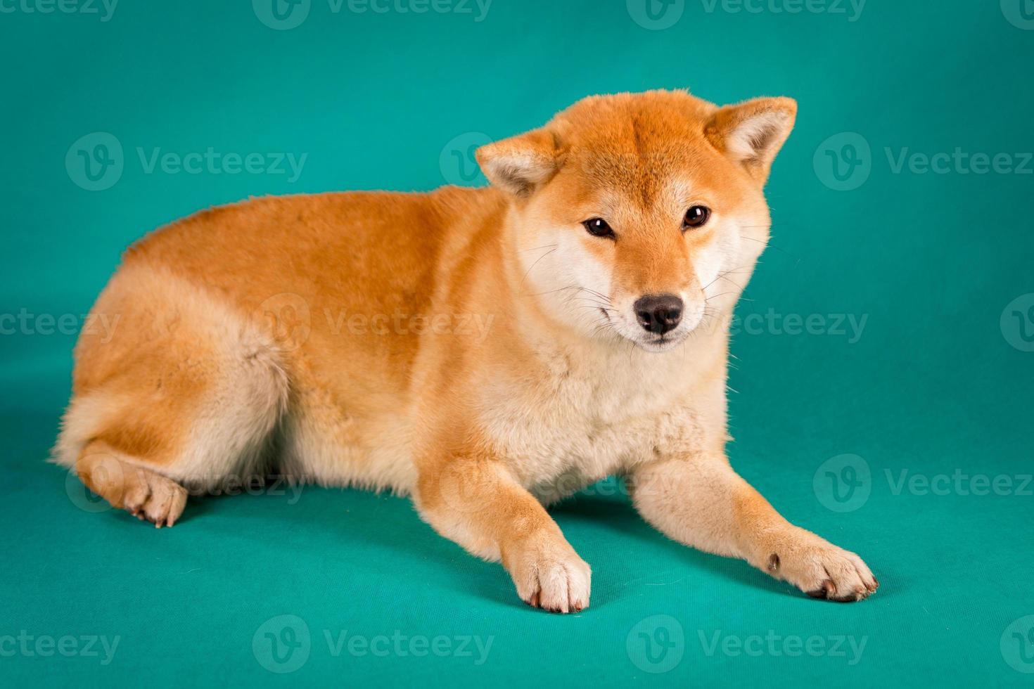 Shiba Inu si siede su uno sfondo verde foto