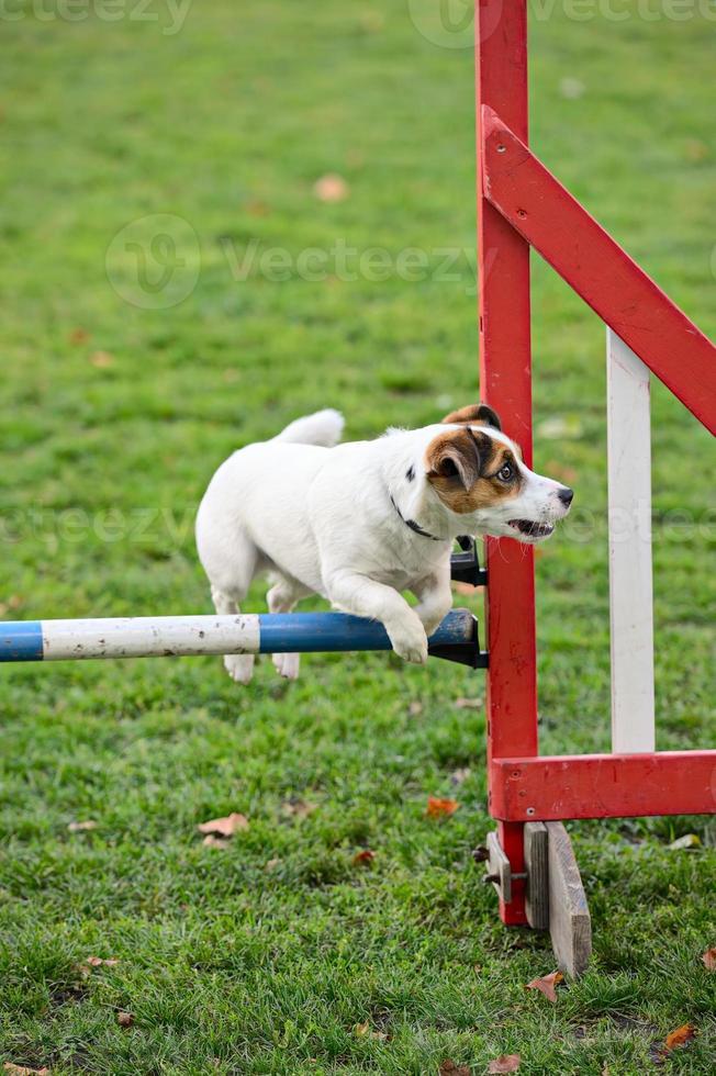 Jack Russell Terrier che salta sopra un ostacolo foto