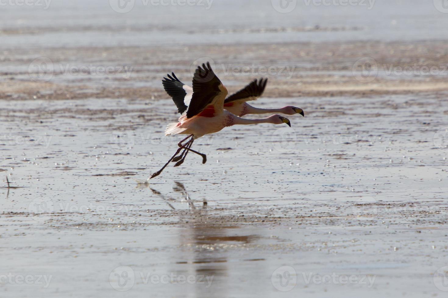 gruppo di fenicotteri che sorvolano la laguna, bolivia foto