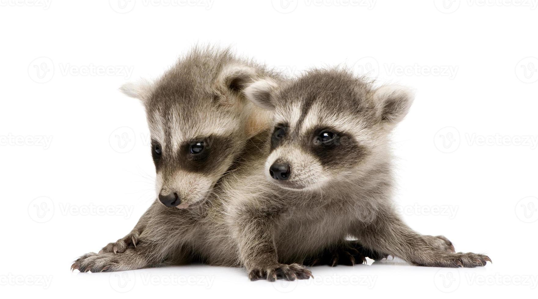 baby raccoon (6 settimane) - procyon lotor foto