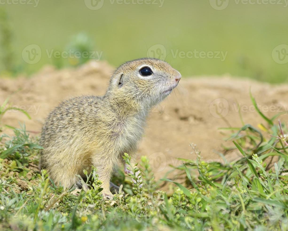 scoiattolo a terra, cucciolo di gopher (spermophilus citellus) foto