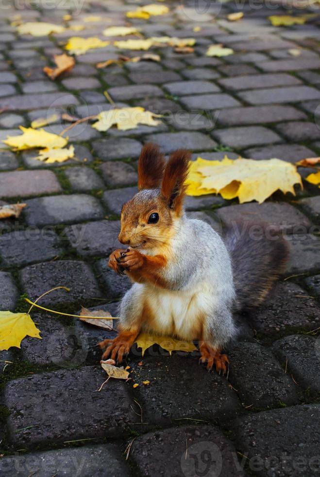 Lo scoiattolo rosso rosicchia un dado foto