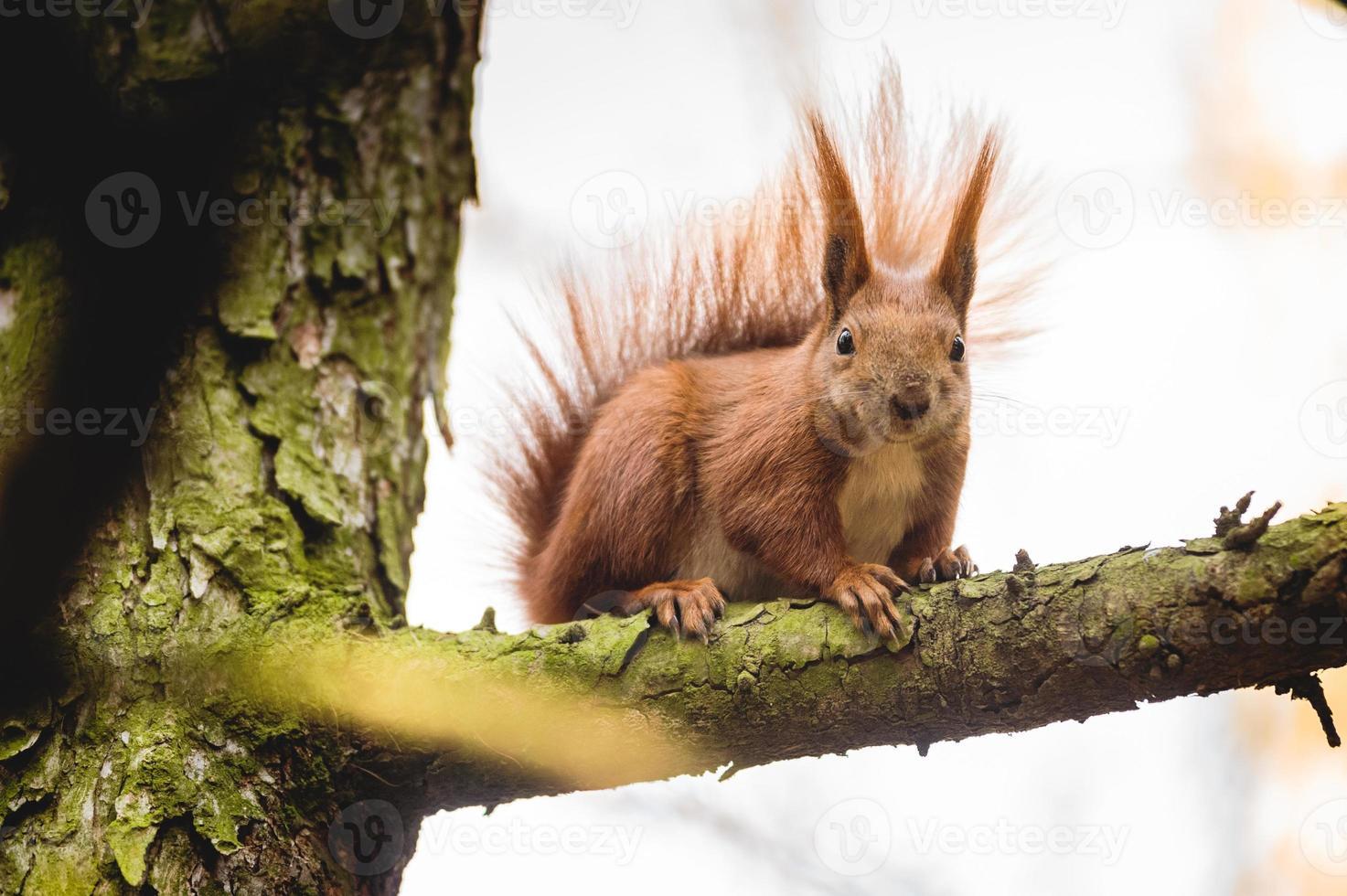 scoiattolo rosso eurasiatico (sciurus vulgaris) foto