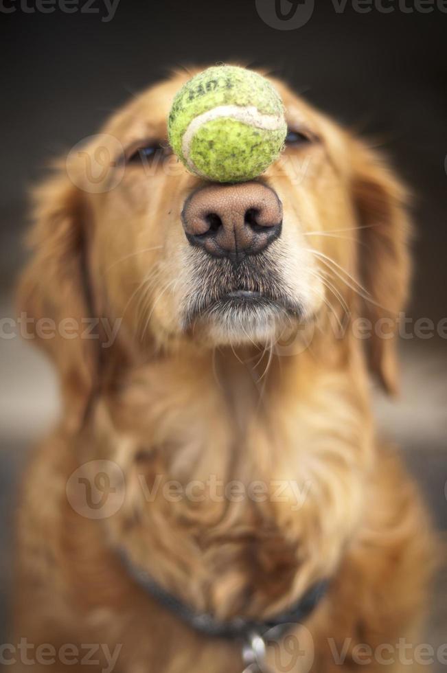 un cane che equilibra una palla da tennis sul muso foto