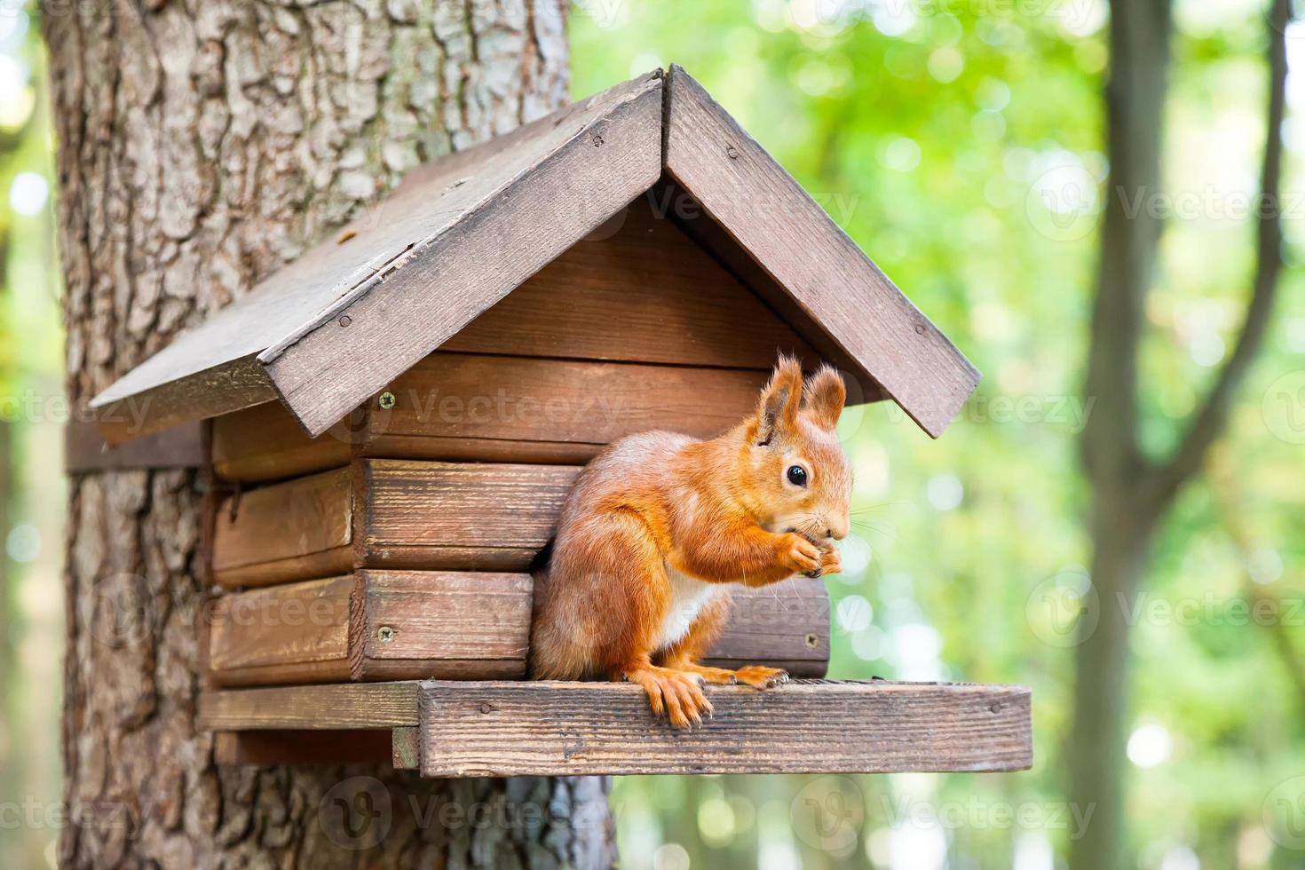 Lo scoiattolo selvatico mangia nella sua casa foto