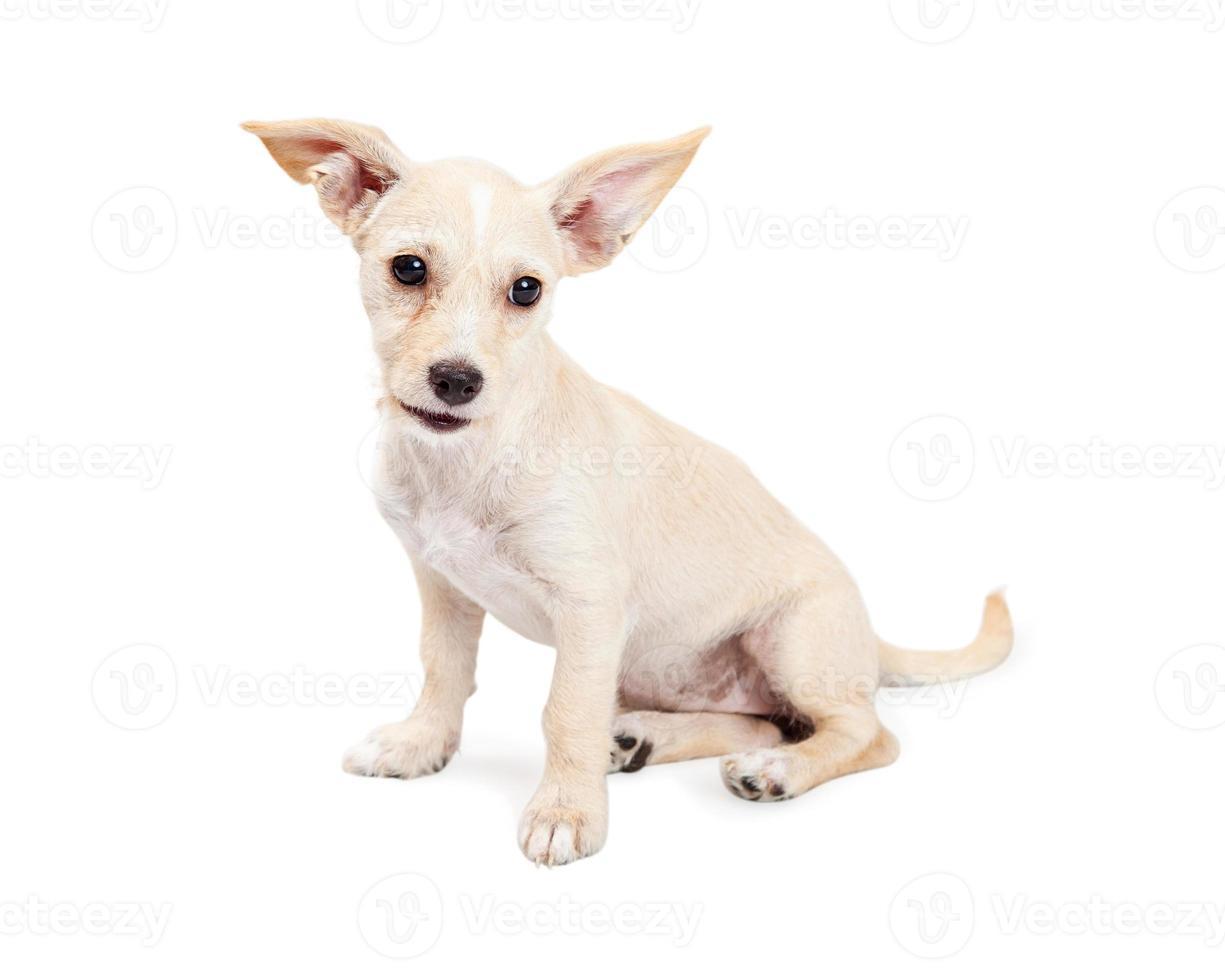 simpatico cucciolo di incrocio chihuahua con orecchie vivaci foto