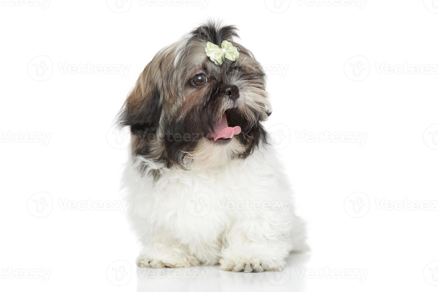 sbadiglio cucciolo di shihtzu foto