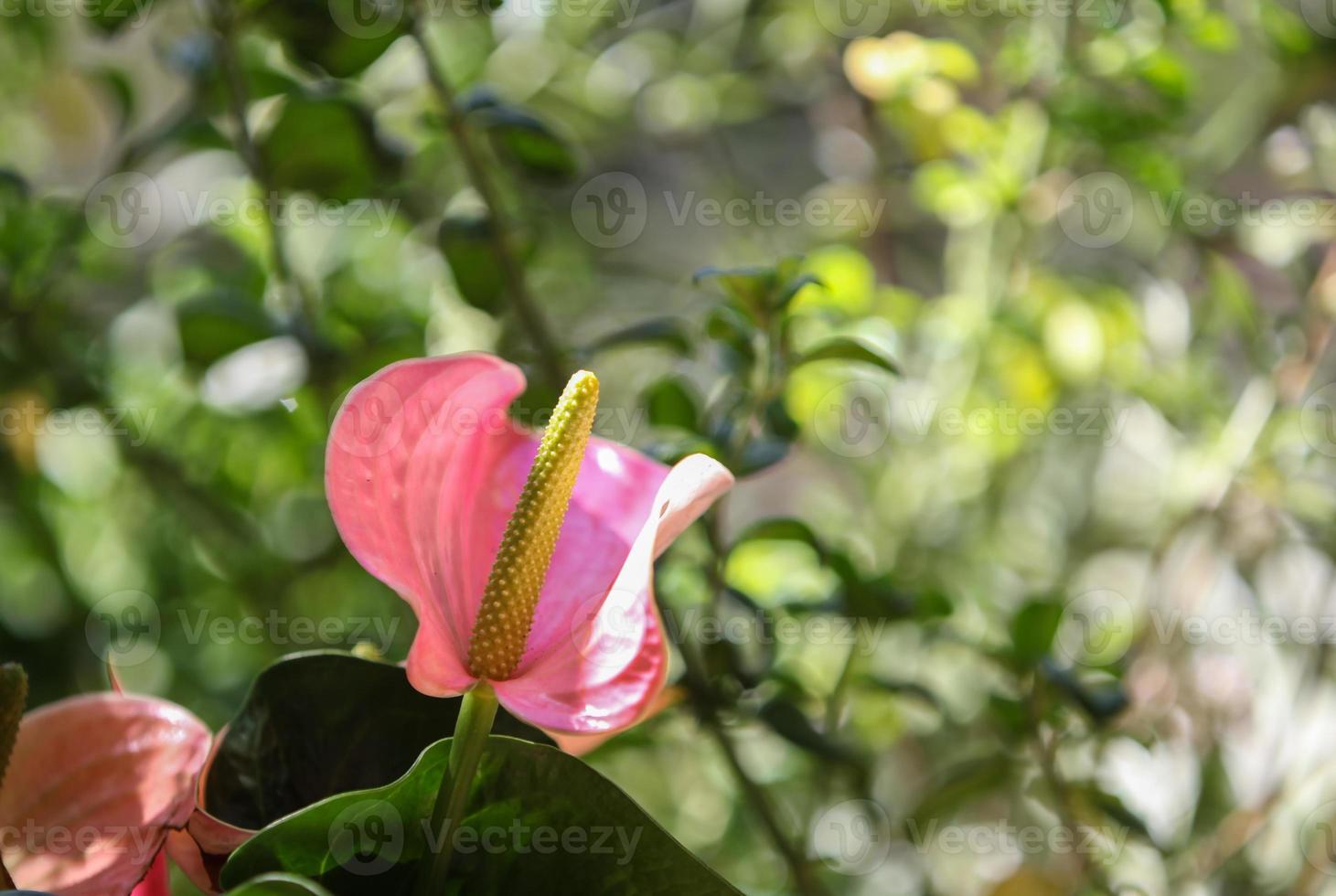 fiore di anthurium rosa, chiamato anche giglio fenicottero foto