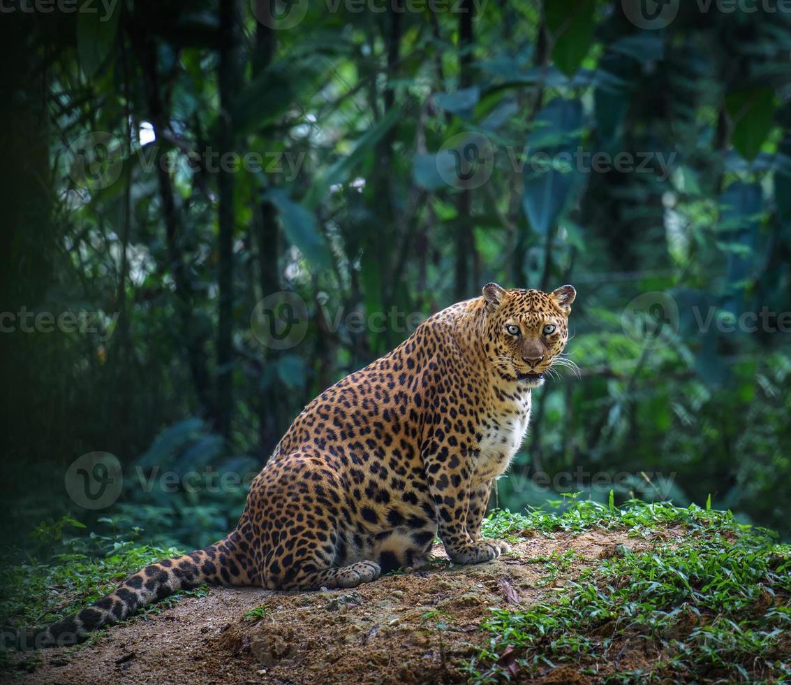 Jaguar incinta in una foresta guarda la telecamera foto