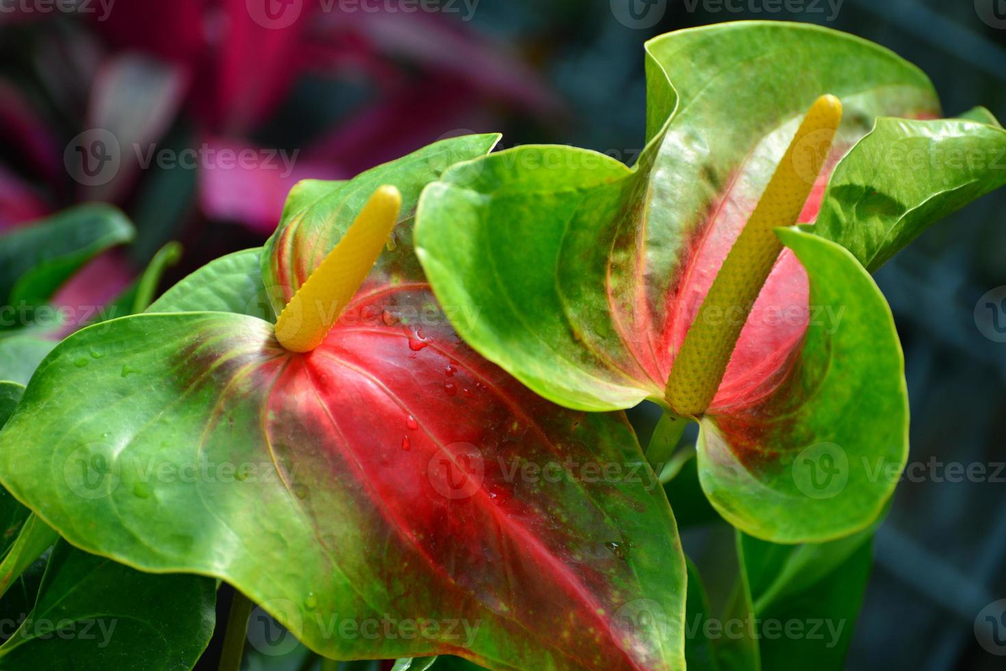 anthurium andraeanum o giglio di fenicottero foto