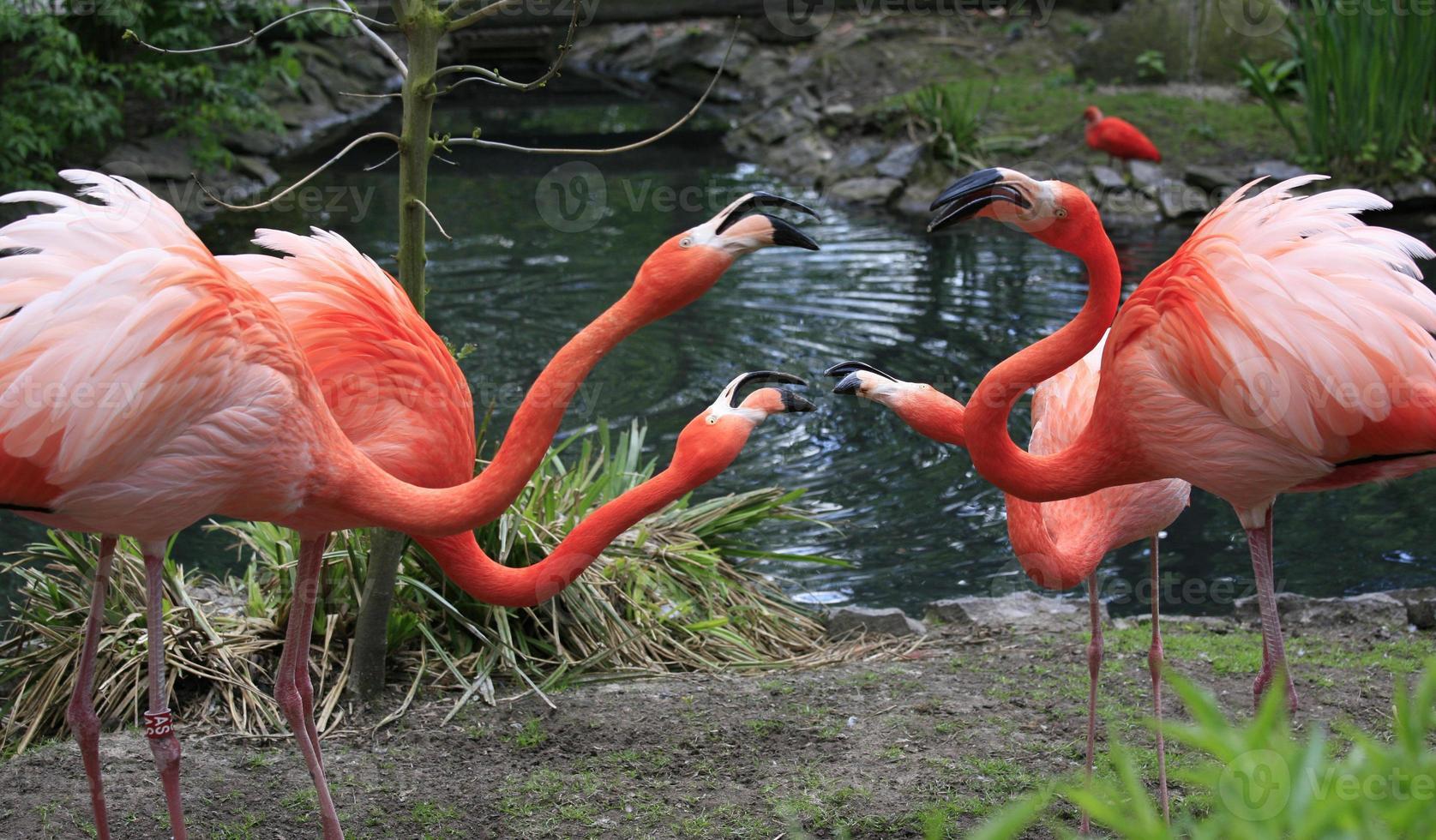 fenicotteri rossi che chiacchierano, riserva naturale, belgio foto