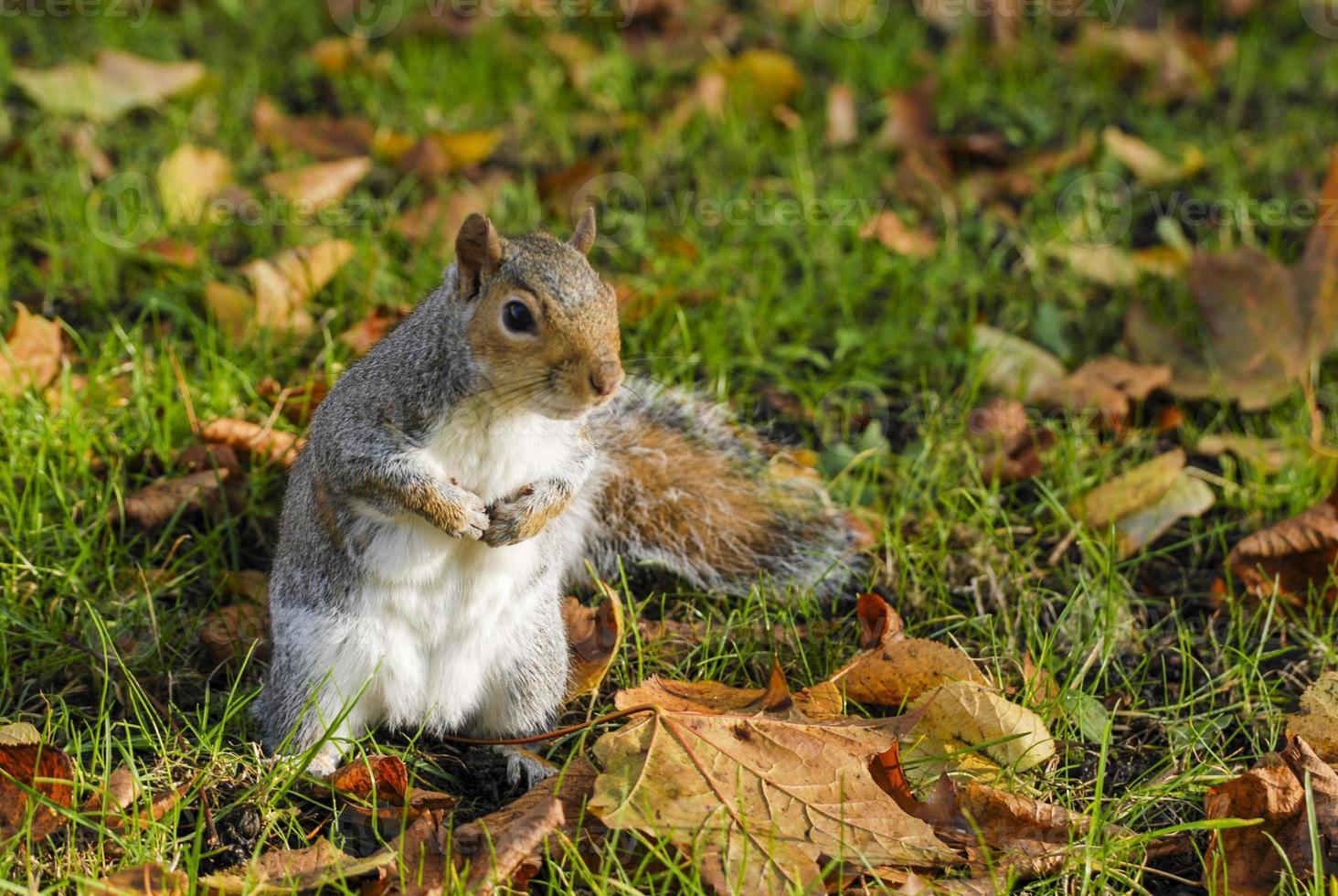 Ritratto di scoiattolo nel parco foto