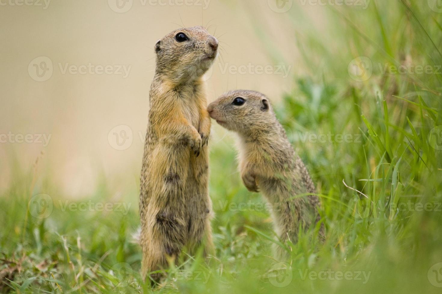 madre europea dello scoiattolo a terra con il giovane foto