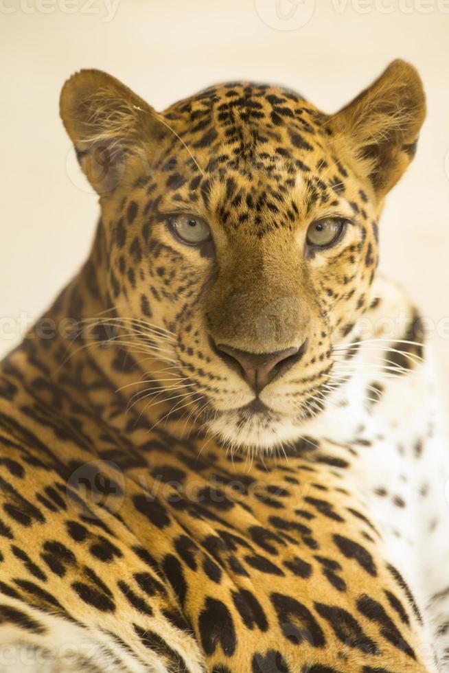 faccia di giaguaro foto