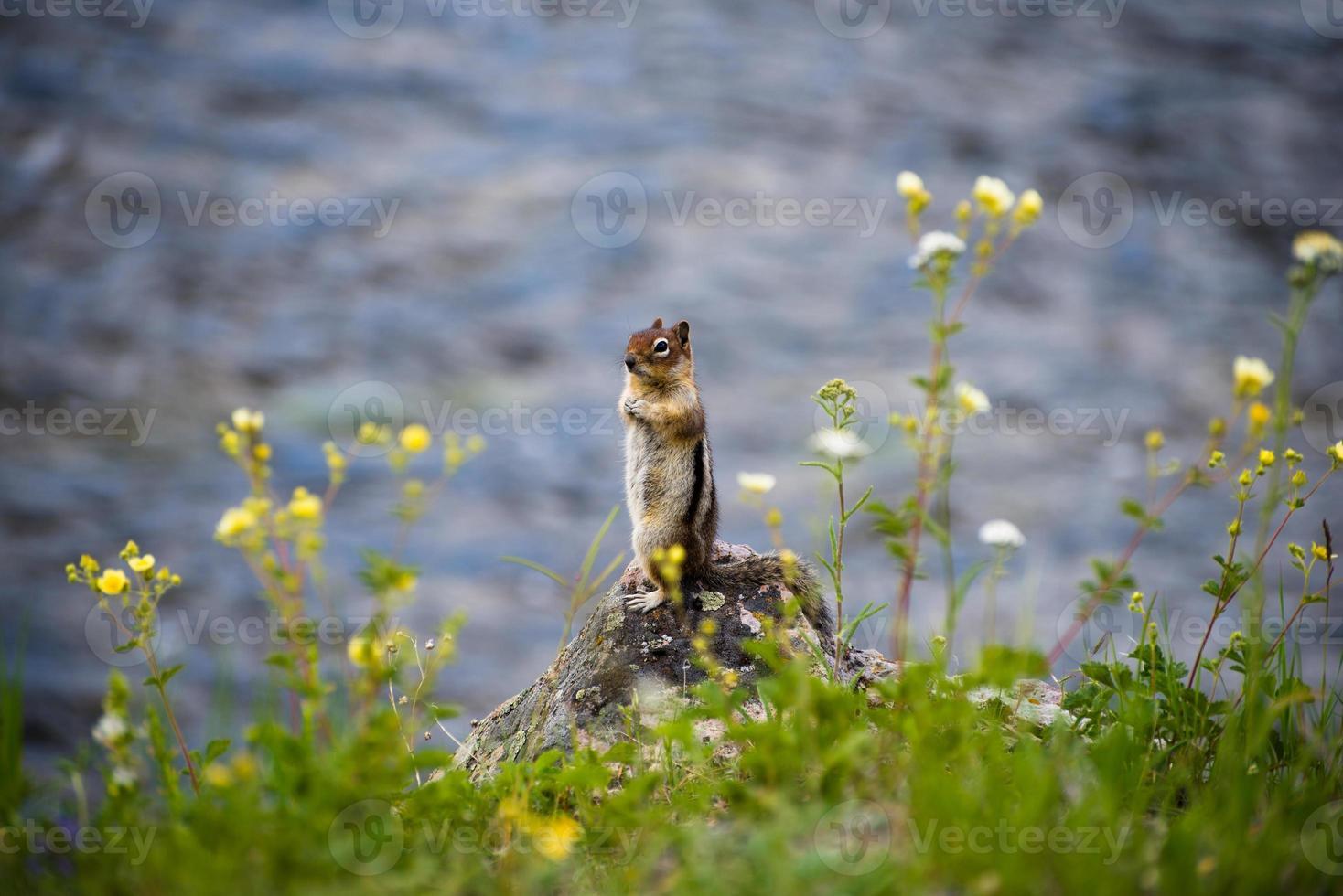 scoiattolo dall'acqua foto