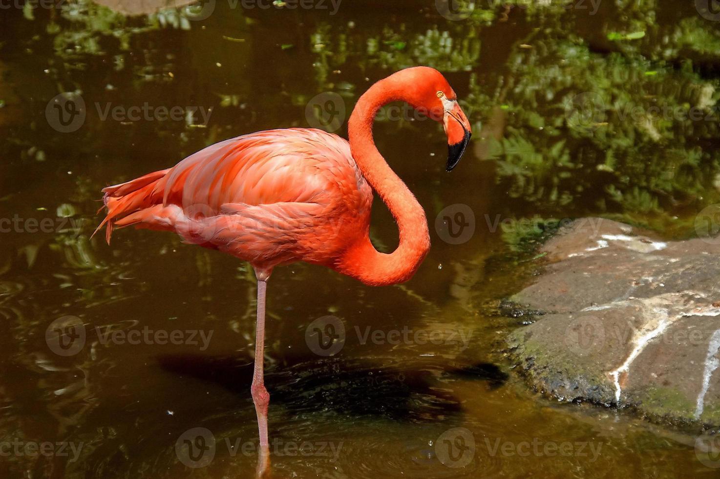 fenicottero caraibico foto