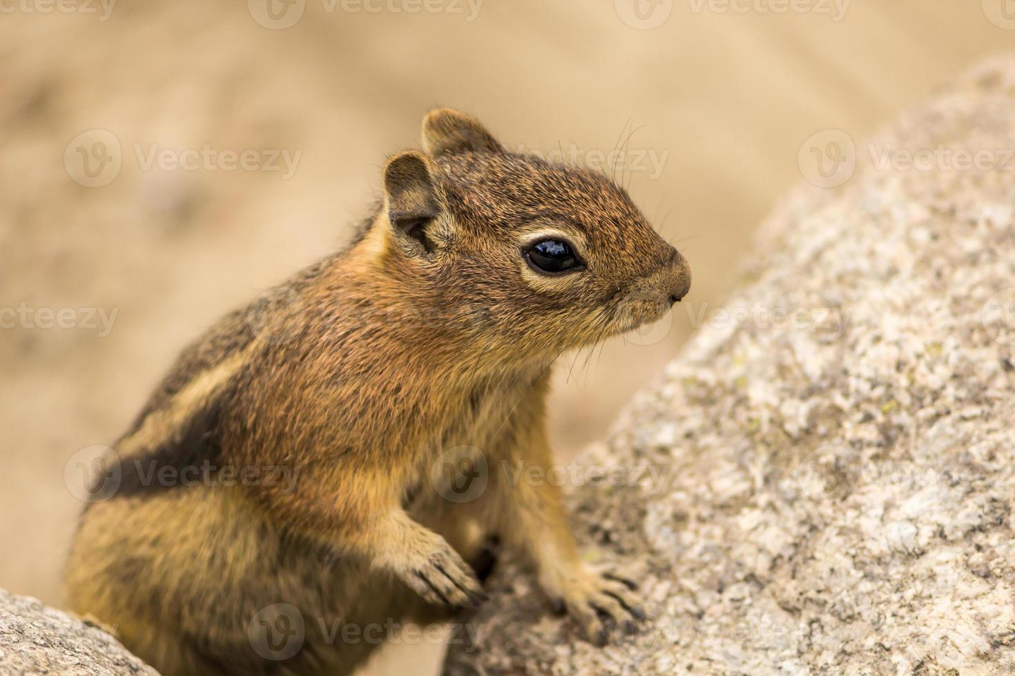 scoiattolo a terra su una roccia foto