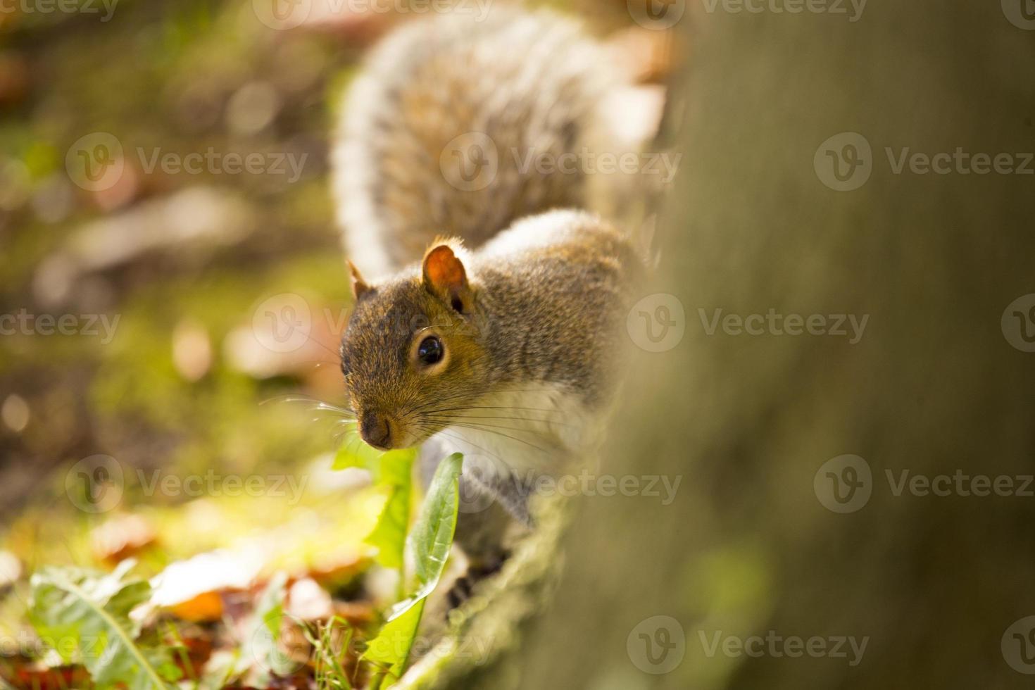 scoiattolo grigio (sciurus carolinensis) foto
