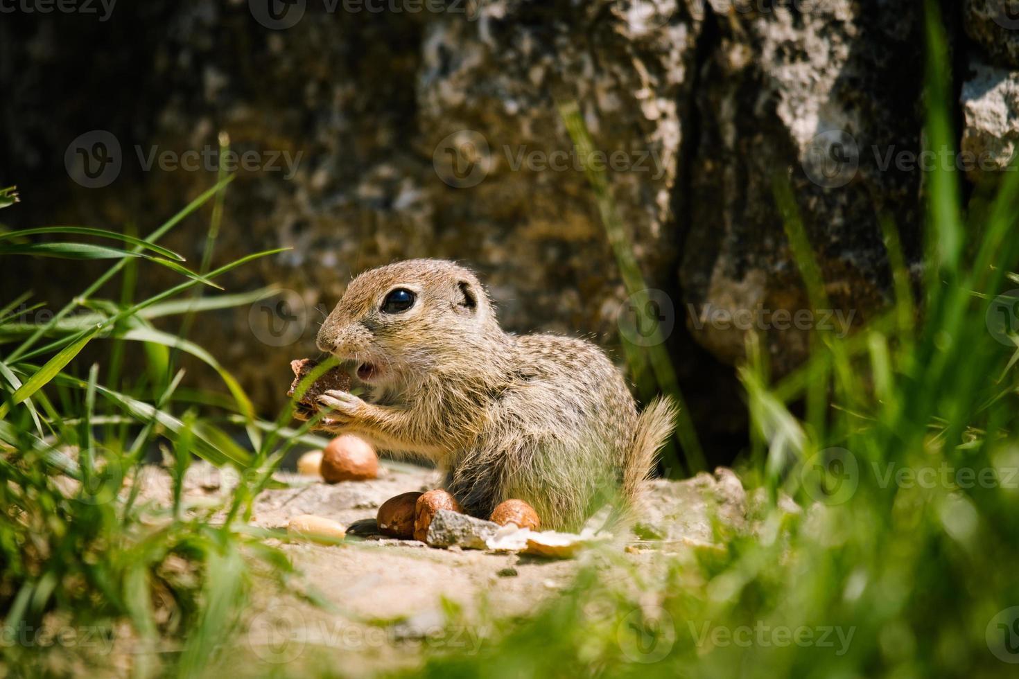scoiattolo di terra europeo foto