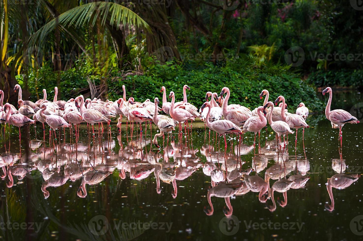 stormo di fenicotteri rosa foto