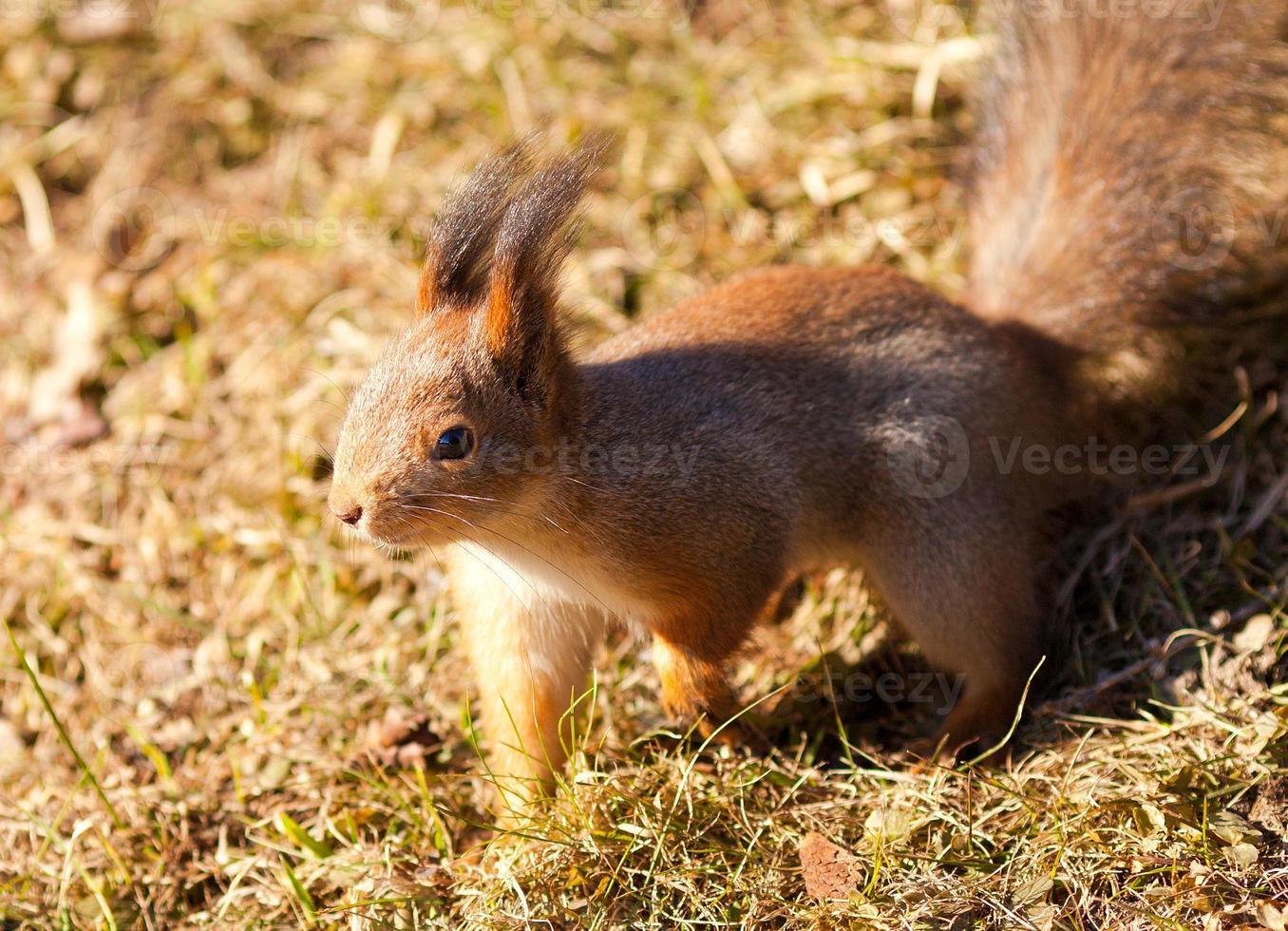 Primo piano dello scoiattolo rosso sul fondo dell'erba foto