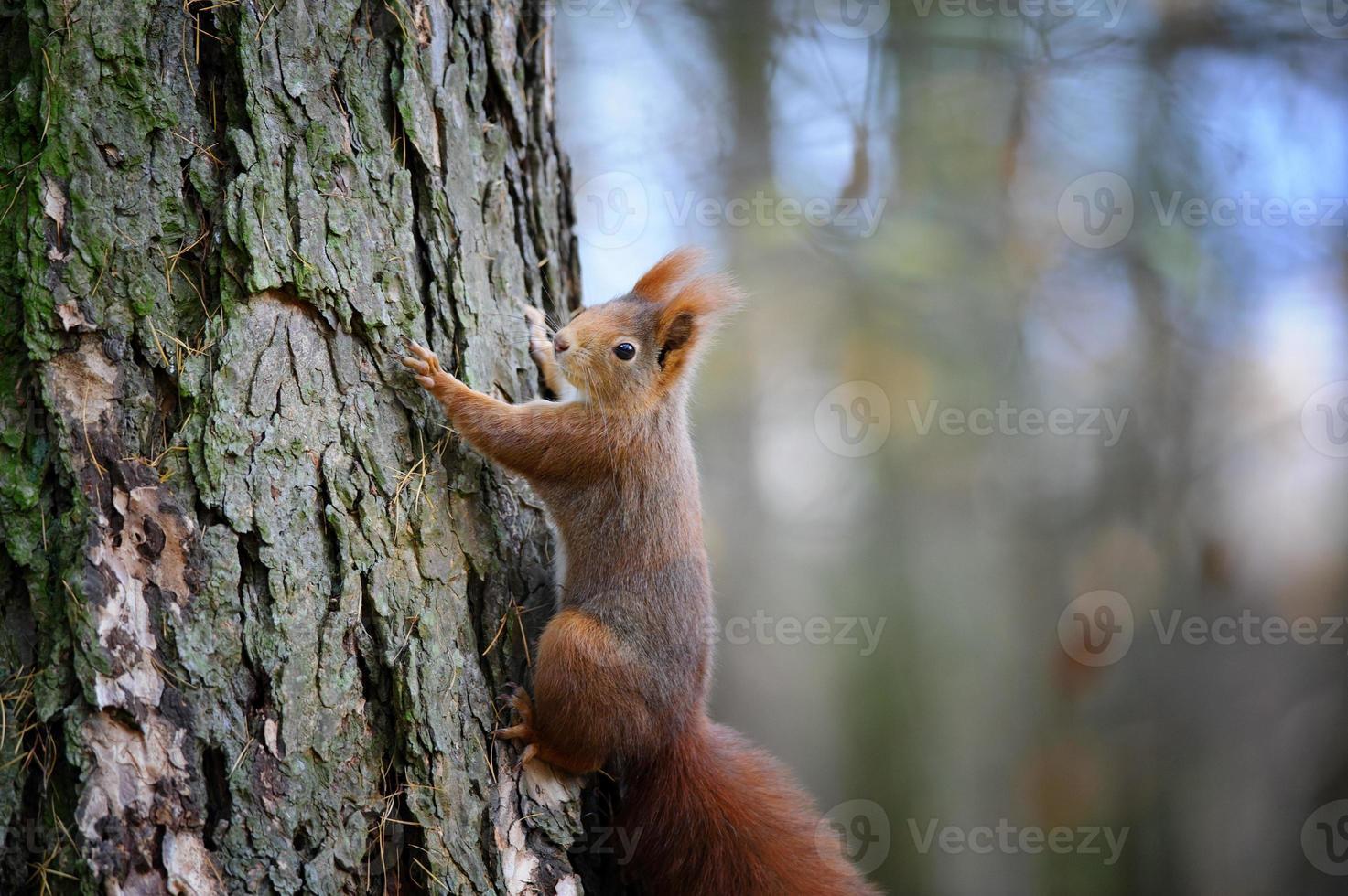 simpatico scoiattolo rosso che si arrampica sulla corteccia del tronco d'albero foto