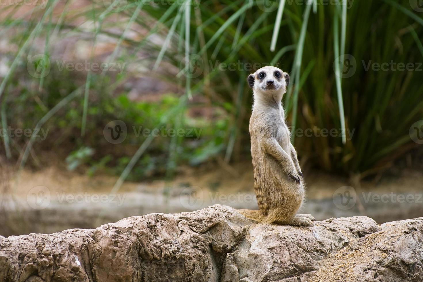 meerkat in piedi su una roccia, sorridendo foto