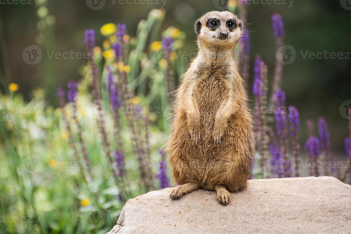 meerkat si sta guardando intorno foto