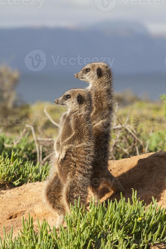 due mangusta in piedi foto