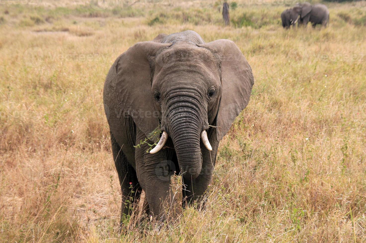 vitello di elefante foto